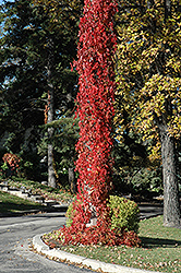 Virginia Creeper (Parthenocissus quinquefolia) at Oakland Nurseries Inc