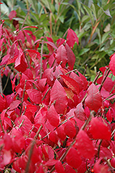 Burning Bush (tree form) (Euonymus alatus '(tree form)') at Oakland Nurseries Inc