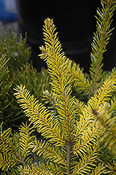 Golden Serbian Spruce (Picea omorika 'Aurea') at Oakland Nurseries Inc