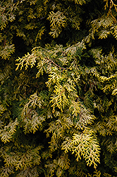 Golden Hinoki Falsecypress (Chamaecyparis obtusa 'Aurea') at Oakland Nurseries Inc