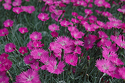 Firewitch Pinks (Dianthus gratianopolitanus 'Firewitch') at Oakland Nurseries Inc
