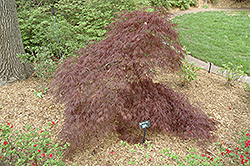 Purple-Leaf Threadleaf Japanese Maple (Acer palmatum 'Dissectum Atropurpureum') at Oakland Nurseries Inc