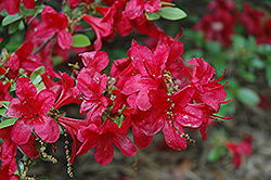 Red Red Azalea (Rhododendron 'Red Red') at Oakland Nurseries Inc