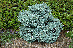 Thume Blue Spruce (Picea pungens 'Thume') at Oakland Nurseries Inc