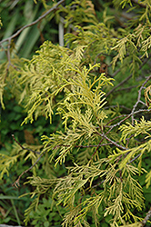 Weeping Golden Threadleaf Falsecypress (Chamaecyparis pisifera 'Filifera Aurea Pendula') at Oakland Nurseries Inc