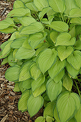 Emerald Tiara Hosta (Hosta 'Emerald Tiara') at Oakland Nurseries Inc