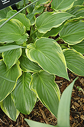 Sugar And Spice Hosta (Hosta 'Sugar And Spice') at Oakland Nurseries Inc