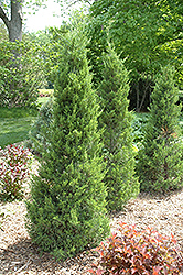 Fairview Juniper (Juniperus chinensis 'Fairview') at Oakland Nurseries Inc