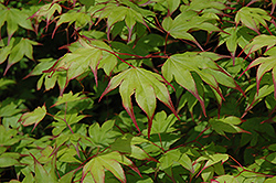 Tsuma Gaki Japanese Maple (Acer palmatum 'Tsuma Gaki') at Oakland Nurseries Inc