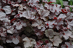 Dolce® Black Currant Coral Bells (Heuchera 'Dolce Black Currant') at Oakland Nurseries Inc