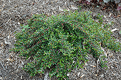 Little Gem Cotoneaster (Cotoneaster adpressus 'Little Gem') at Oakland Nurseries Inc