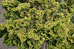 Dwarf Golden Hinoki Falsecypress (Chamaecyparis obtusa 'Nana Lutea') at Oakland Nurseries Inc