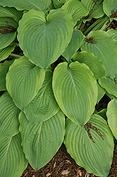 Key Lime Pie Hosta (Hosta 'Key Lime Pie') at Oakland Nurseries Inc