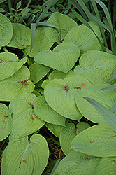 King Tut Hosta (Hosta 'King Tut') at Oakland Nurseries Inc