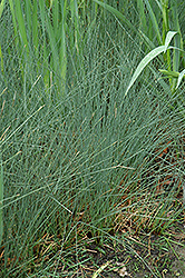 Soft Rush (Juncus inflexus) at Oakland Nurseries Inc