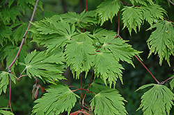 Cutleaf Fullmoon Maple (Acer japonicum 'Aconitifolium') at Oakland Nurseries Inc