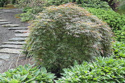 Orangeola Cutleaf Japanese Maple (Acer palmatum 'Orangeola') at Oakland Nurseries Inc