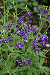 Dwarf Spring Larkspur (Delphinium tricorne) at Oakland Nurseries Inc