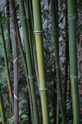 Yellow Grove Bamboo (Phyllostachys aureosulcata) at Oakland Nurseries Inc
