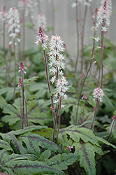 Candy Striper Foamflower (Tiarella 'Candy Striper') at Oakland Nurseries Inc