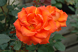 Gingersnap Rose (Rosa 'Gingersnap') at Oakland Nurseries Inc