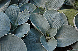 Love Pat Hosta (Hosta 'Love Pat') at Oakland Nurseries Inc