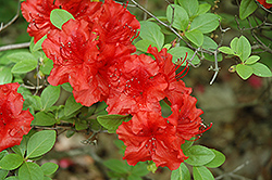Girard's Hot Shot Azalea (Rhododendron 'Girard's Hot Shot') at Oakland Nurseries Inc