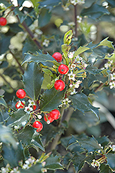 Berri-Magic Kids Meserve Holly (Ilex x meserveae 'Berri-Magic Kids') at Oakland Nurseries Inc