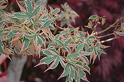 Beni Schichihenge Japanese Maple (Acer palmatum 'Beni Schichihenge') at Oakland Nurseries Inc