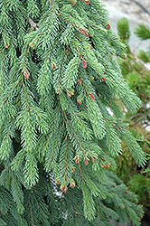 Weeping White Spruce (Picea glauca 'Pendula') at Oakland Nurseries Inc