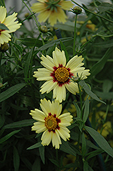 Red Shift Tickseed (Coreopsis 'Red Shift') at Oakland Nurseries Inc