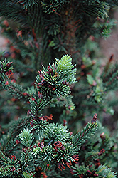 Hillside Upright Dwarf Blue Spruce (Picea pungens 'Hillside Upright') at Oakland Nurseries Inc