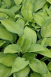 Gold Standard Hosta (Hosta 'Gold Standard') at Oakland Nurseries Inc