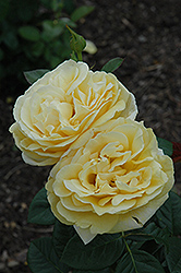 Michelangelo Rose (Rosa 'Michelangelo') at Oakland Nurseries Inc