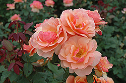 About Face Rose (Rosa 'About Face') at Oakland Nurseries Inc