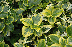 Gold Prince Wintercreeper (Euonymus fortunei 'Gold Prince') at Oakland Nurseries Inc