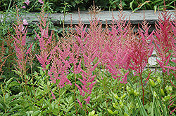 Visions in Pink Chinese Astilbe (Astilbe chinensis 'Visions in Pink') at Oakland Nurseries Inc