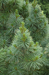 Dense Dwarf White Pine (Pinus strobus 'Brevifolia') at Oakland Nurseries Inc