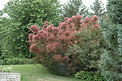 Royal Purple Smokebush (Cotinus coggygria 'Royal Purple') at Oakland Nurseries Inc