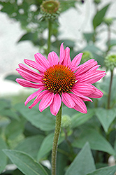 Little Magnus Coneflower (Echinacea purpurea 'Little Magnus') at Oakland Nurseries Inc