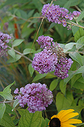 Lo And Behold Blue Chip Dwarf Butterfly Bush (Buddleia 'Lo And Behold Blue Chip') at Oakland Nurseries Inc