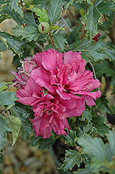 Collie Mullins Rose Of Sharon (Hibiscus syriacus 'Collie Mullins') at Oakland Nurseries Inc