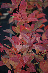 Little Henry® Virginia Sweetspire (Itea virginica 'Sprich') at Oakland Nurseries Inc