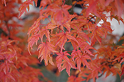 Lions Head Japanese Maple (Acer palmatum 'Shishigashira') at Oakland Nurseries Inc