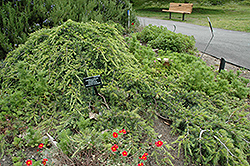 Weeping Cedar of Lebanon (Cedrus libani 'Pendula') at Oakland Nurseries Inc