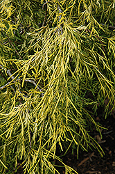 Lemon Thread Falsecypress (Chamaecyparis pisifera 'Lemon Thread') at Oakland Nurseries Inc