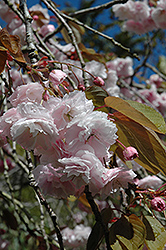 White Flowering Cherry (Prunus serrulata 'Alborosea') at Oakland Nurseries Inc