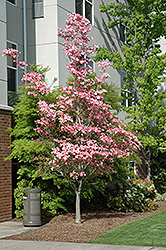 Cherokee Brave Flowering Dogwood (Cornus florida 'Cherokee Brave') at Oakland Nurseries Inc