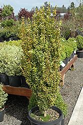 Graham Blandy Boxwood (Buxus sempervirens 'Graham Blandy') at Oakland Nurseries Inc