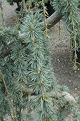 Weeping Blue Atlas Cedar (Cedrus atlantica 'Glauca Pendula') at Oakland Nurseries Inc